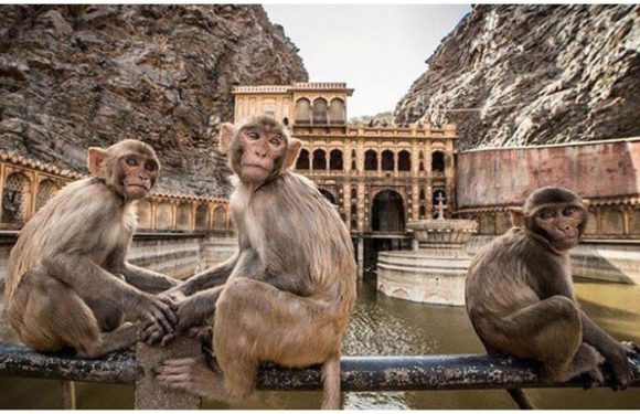 जयपुर (Jaipur) में है बंदरों का अनूठा मंदिर, घूमना चाहेंगे आप?