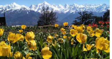 uttarakhand munsiyari worlds first largestt tulip garden